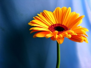 orange_flower_wallpaper_flowers_nature_wallpaper_1920_1440_1665